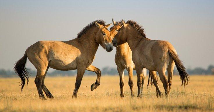 takhi horse